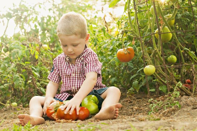 De jongen verzamelt tomaten in inlandse tuin stock afbeelding