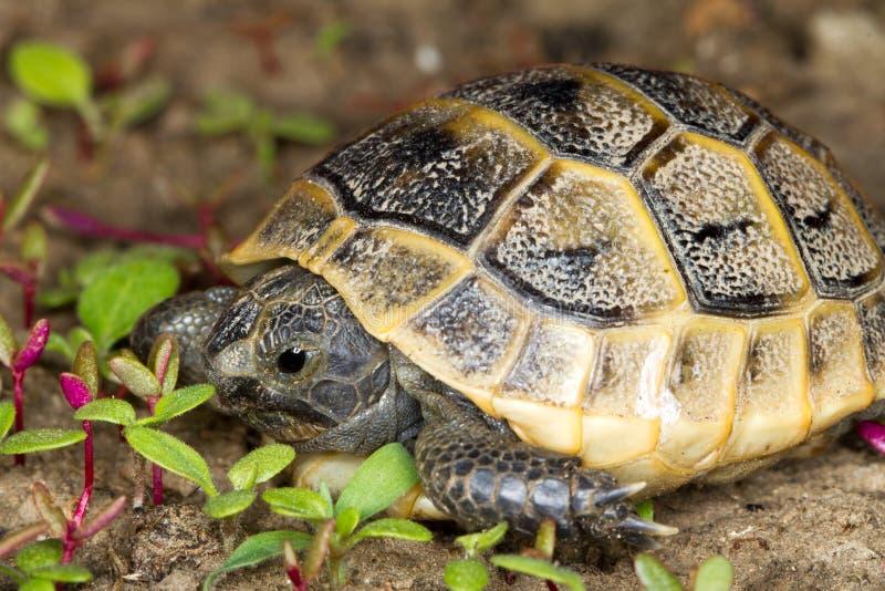 De jongere van aansporing-thighed schildpad/Testudo graeca i stock fotografie