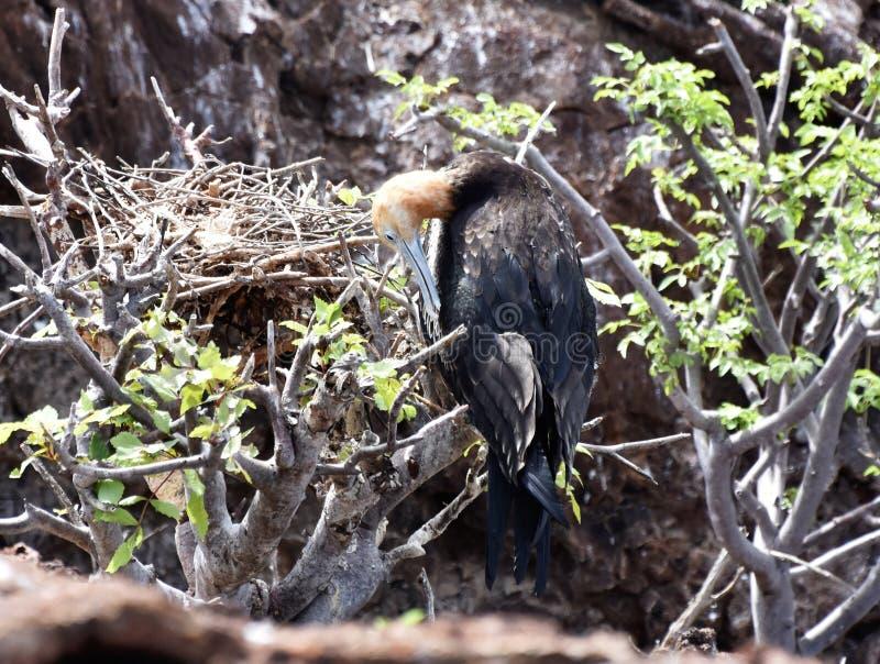 De jongere van de fregatvogel door nest stock foto