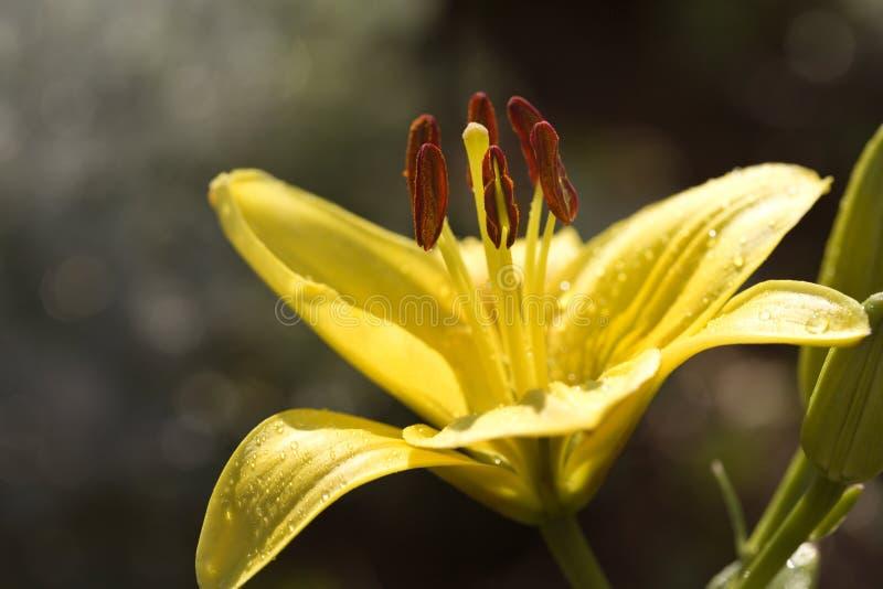 De jour fleur jaune lilly. image stock