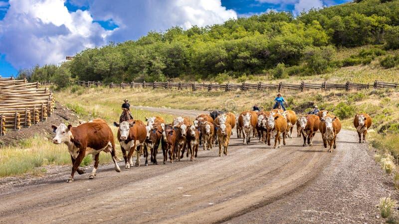 14 DE JULHO DE 2018, RIDGWAY, COLORADO, EUA - o gado conduz abaixo da estrada 58P do condado, última estrada do dólar, Mesa de Ha imagem de stock royalty free