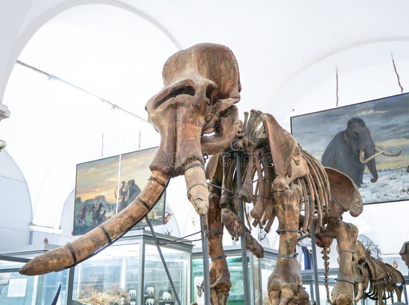 26 de julio de 2018: St Petersburg, Rusia: Esqueleto del elefante en el instituto zoológico de la academia de ciencias rusa en el imágenes de archivo libres de regalías