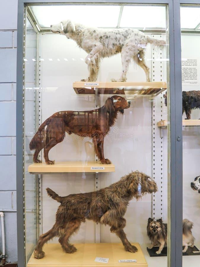 26 de julio de 2018: St Petersburg, Rusia: Perros de la materia en el instituto zoológico de la academia de ciencias rusa en St P imágenes de archivo libres de regalías