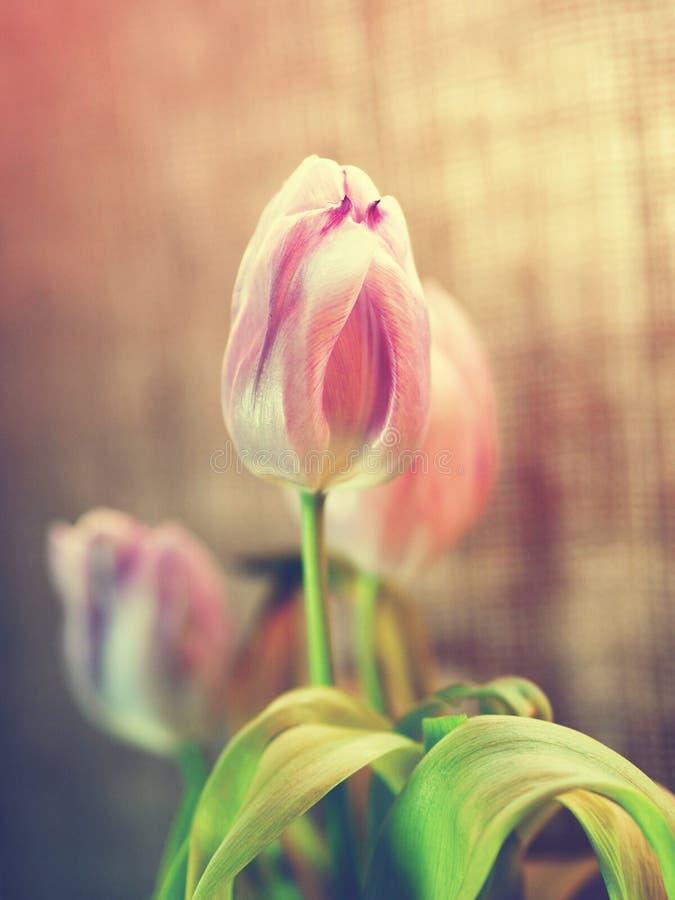 De juteachtergrond van Fadede Roze tulpen stock foto's