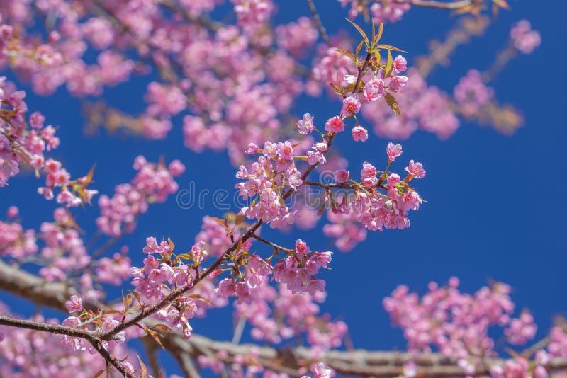 De körsbärsröda blomningarna av Thailand royaltyfri fotografi