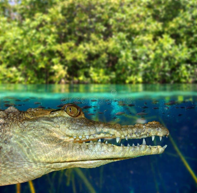 De kaaiman die van de krokodil in mangrovemoeras zwemt stock afbeeldingen