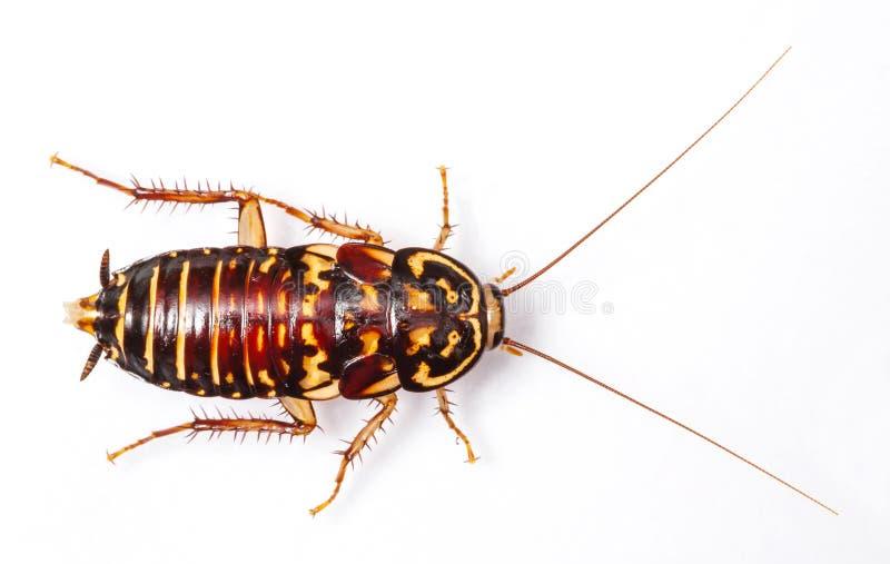 De Kakkerlak van de harlekijn royalty-vrije stock afbeelding