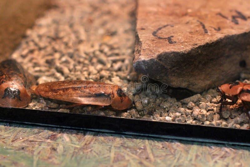 De kakkerlakken van Madagascar in een terrarium royalty-vrije stock afbeelding
