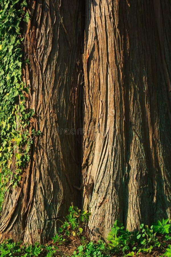 De kale cipres van Taxodiumdistichum stock fotografie