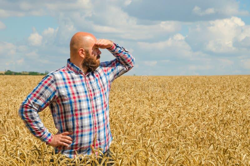 De kale landbouwer met baard die en kijkt rond op het tarwegebied bevinden zich De landbouwer of de agronoom inspecteert kwalitei royalty-vrije stock afbeeldingen