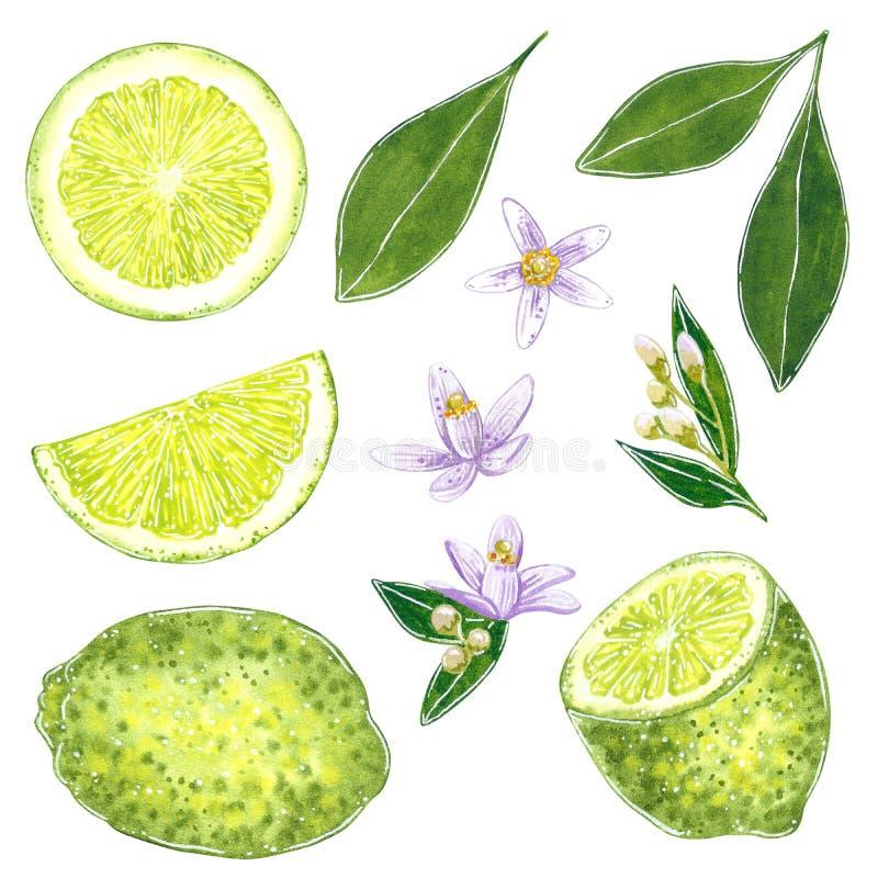 De kalk clipart plaatste met bladeren en bloemen Hand getrokken waterverfillustratie vector illustratie