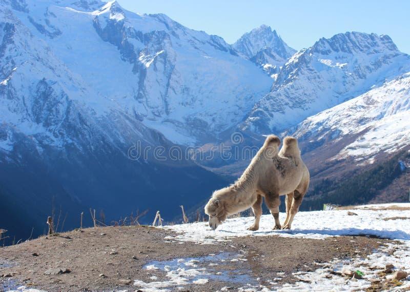 De kameel die in de sneeuw weiden stock fotografie