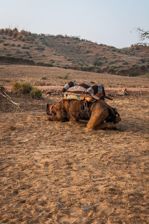 De kameel slaapt royalty-vrije stock afbeeldingen