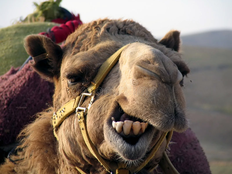 De Kameel van de glimlach! stock foto