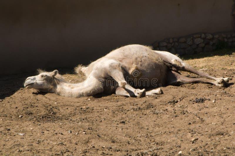 De kameel van de slaap royalty-vrije stock afbeeldingen