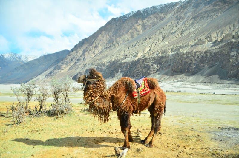De kameel voor toeristen in Leh verlaat het kapitaal van het Himalayan-koninkrijk van Ladakh, India royalty-vrije stock afbeeldingen