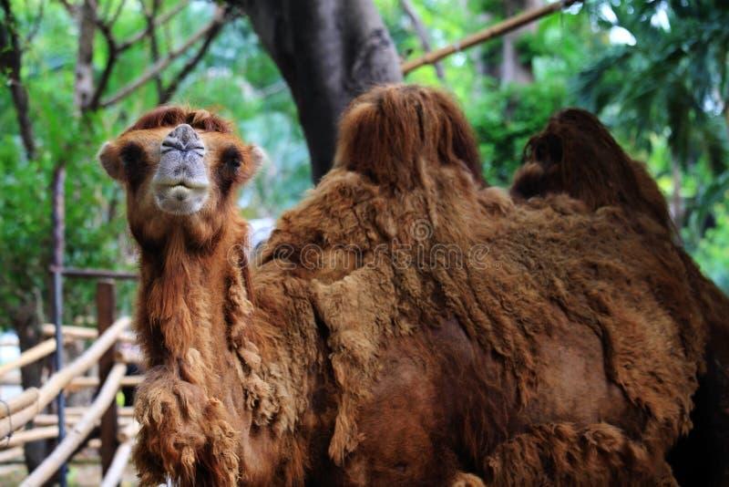 De kameel ziet eruit en glimlacht royalty-vrije stock foto