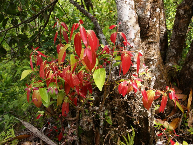 De kaneelboom van Ceylon, ware kaneelboom, Cinnamomum verum royalty-vrije stock foto