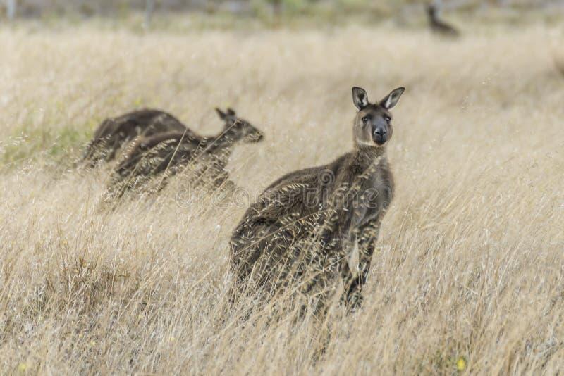 De kangoeroe komt uit het droge gras van een gecultiveerd gebied op Kangoeroeeiland te voorschijn, Zuidelijk Australië stock foto's