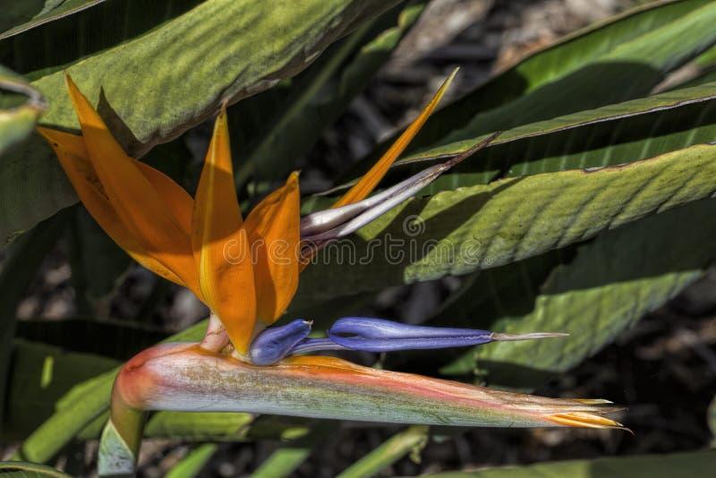 De kangoeroepoot is de algemene naam voor een aantal species, in twee soorten van de familie Haemodoraceae, die aan het zuiden en stock fotografie