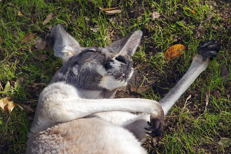 De kangoeroeslaap op het is Achter royalty-vrije stock foto
