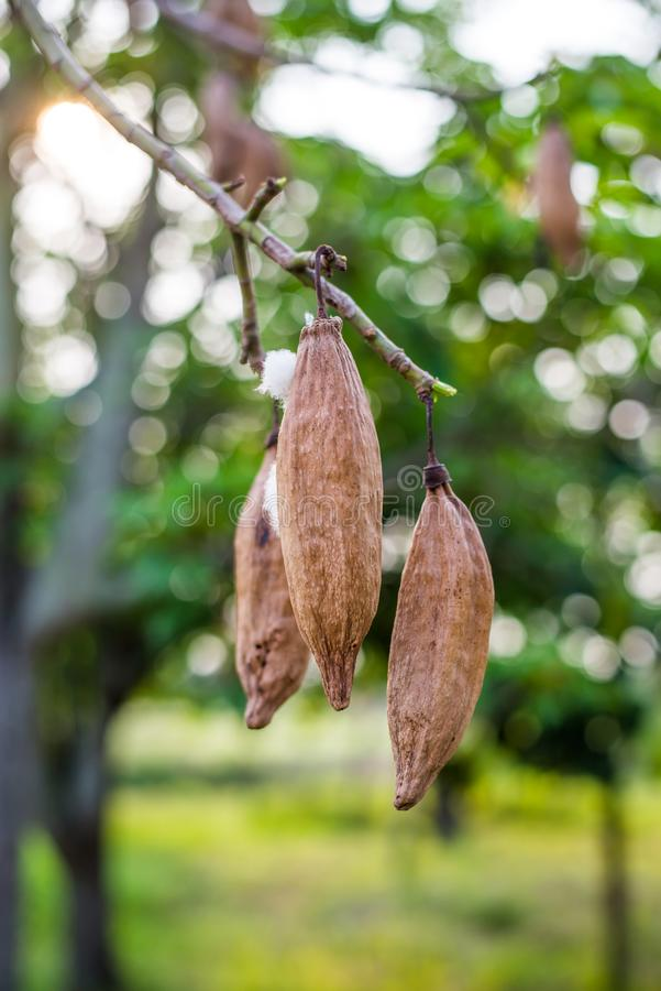 De kapoklente op boom in aard in Thailand stock foto