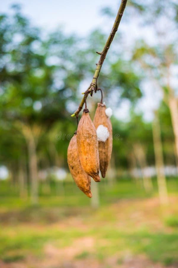 De kapoklente op boom in aard in Thailand stock afbeelding