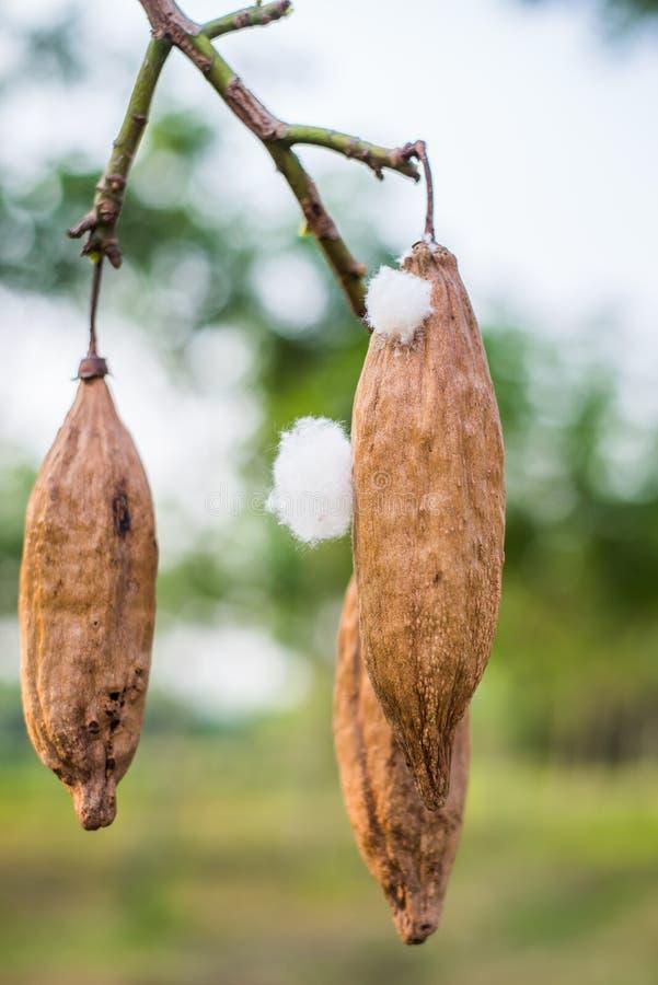 De kapoklente op boom in aard in Thailand stock foto's