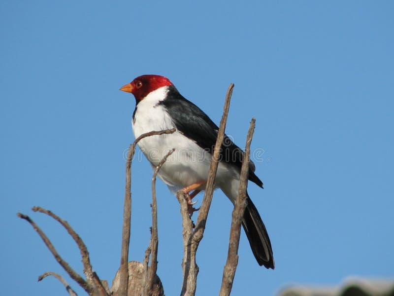 De Kardinaal van Pantanal