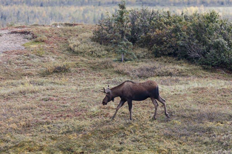 De kariboe met geweitakken voedert binnen langs toendra stock foto's