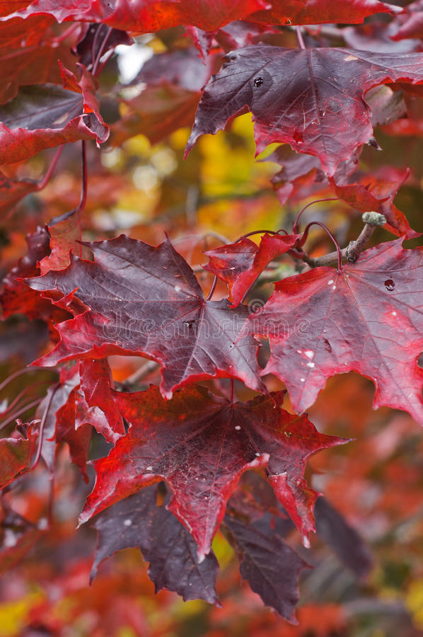 De Karmozijnrode Koning van Acer platanoides royalty-vrije stock foto