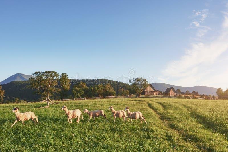 De Karpaten, de Oekraïne Reis in de bergen Van het de Levensstijlconcept van de wandelingsreis mooi de bergenlandschap  stock foto's