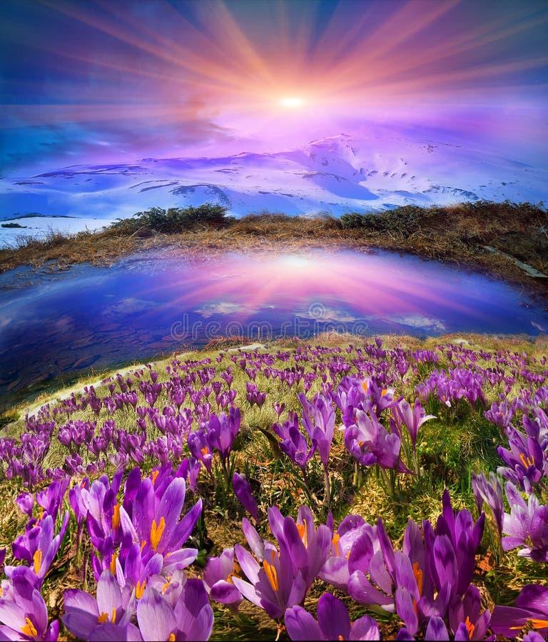 de Karpatische valleien kweken mooie alpiene bloemen royalty-vrije stock afbeeldingen