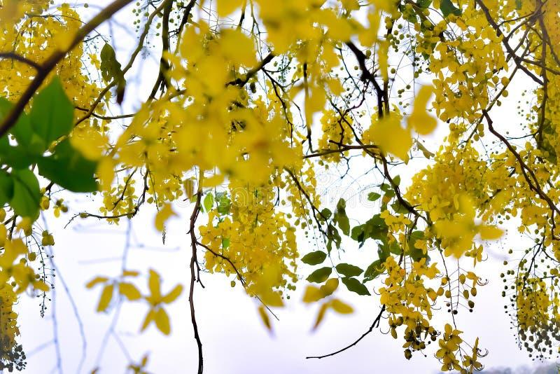 De kassieboombloemen zijn natuurlijk geel royalty-vrije stock foto