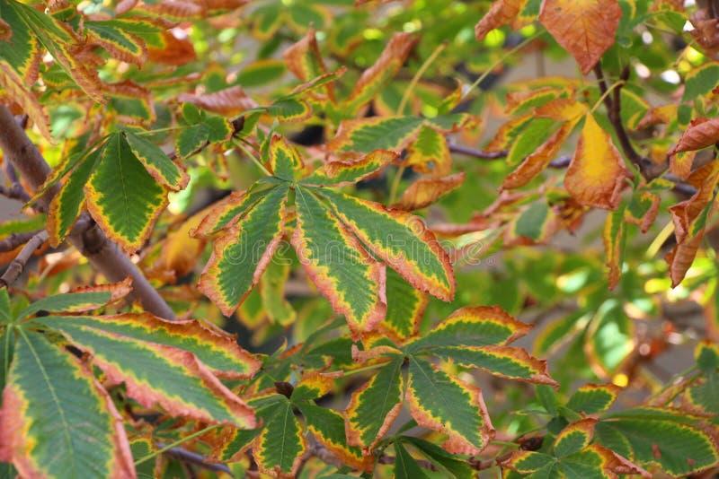 De kastanje gaat in de herfst weg stock afbeelding