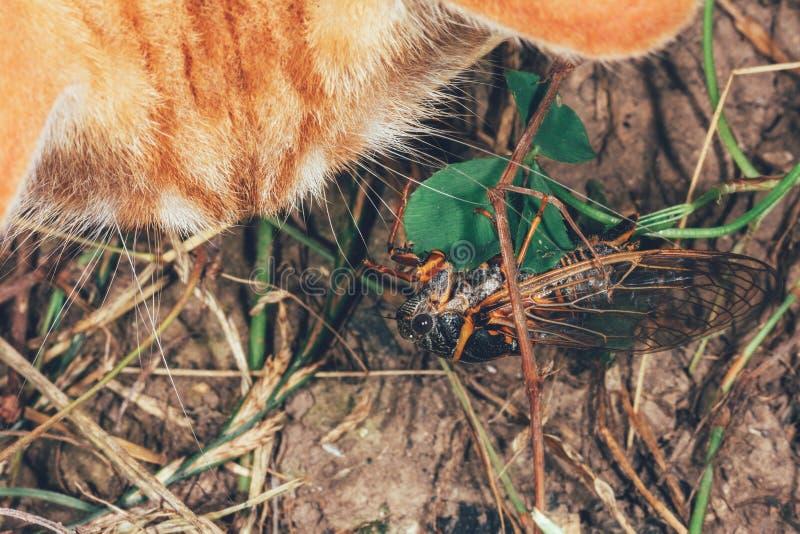 De kat bekijkt de Cicade royalty-vrije stock foto's