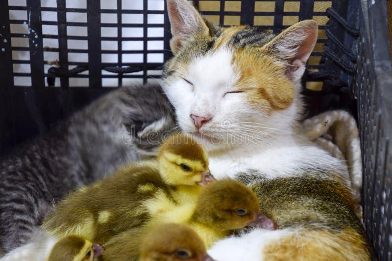 De kat bevordert moeder voor de eendjes stock foto's