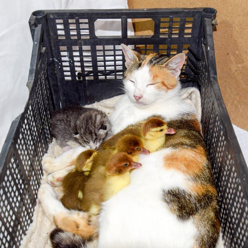 De kat bevordert moeder voor de eendjes royalty-vrije stock afbeelding