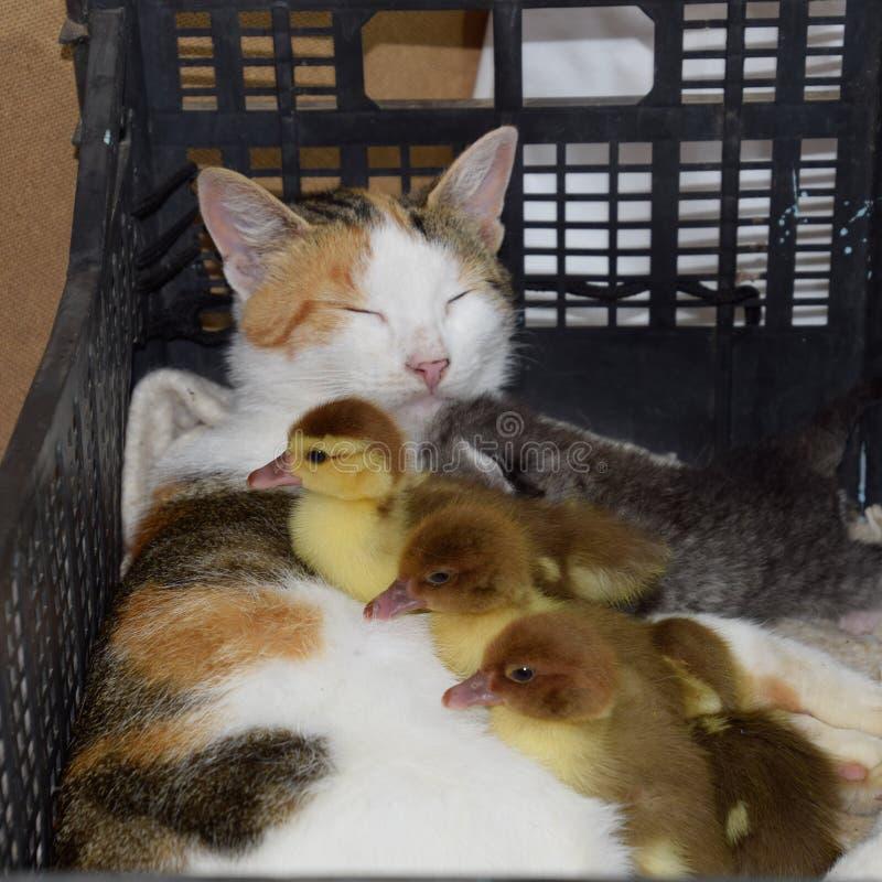 De kat bevordert moeder voor de eendjes stock afbeelding