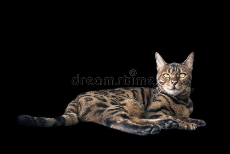 De kat die van Bengalen en camera liggen bekijken stock fotografie