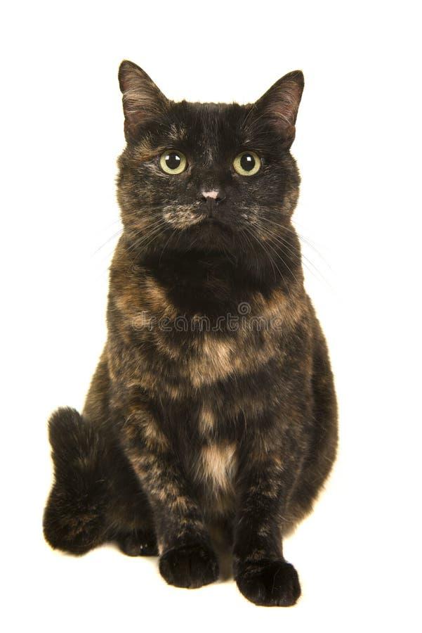 De kat die van de zittingsschildpad omhoog met haar staart kijken krulde omhoog naast haar op een witte achtergrond stock afbeelding