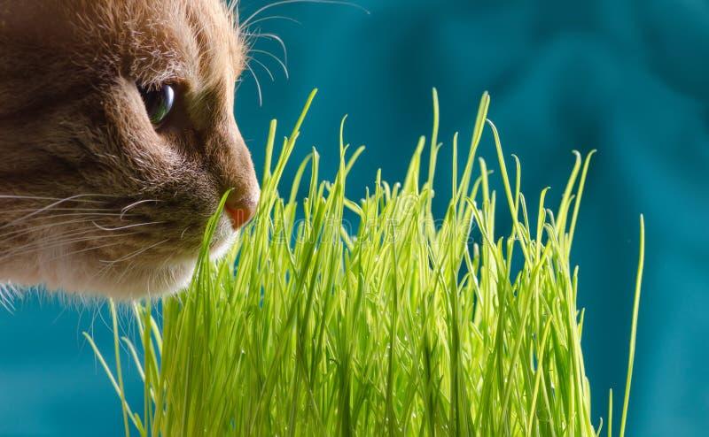 De kat eet gras royalty-vrije stock foto's