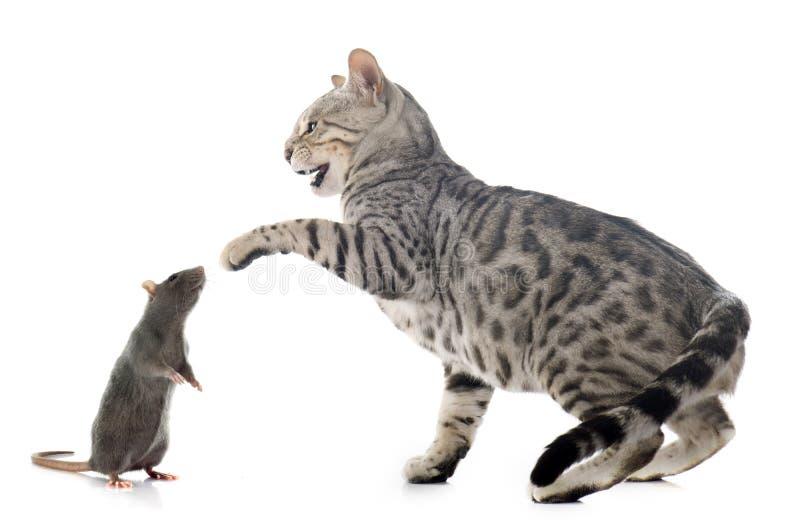 De kat en de rat van Bengalen stock foto