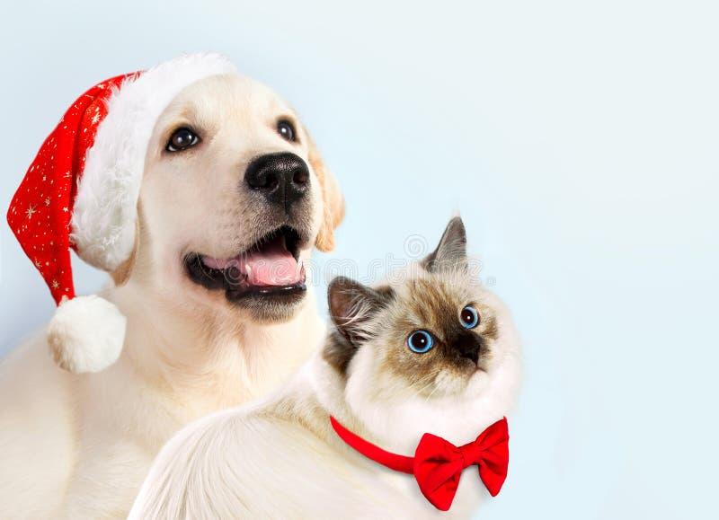 De kat en de hond samen, het katje van de nevamaskerade, golden retriever bekijken recht Puppy met Kerstmishoed en boog De stemmi stock fotografie