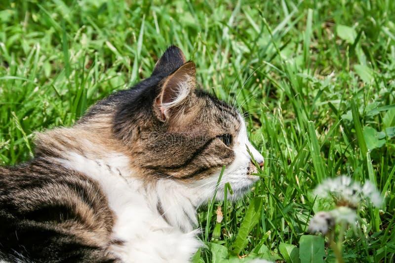 De kat ligt in het groene gras stock foto