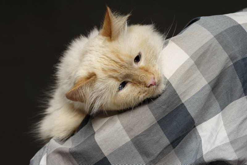 De kat ligt op shoulderbeige de blauw-eyed kat op de schouder op het gehielde overhemd ligt royalty-vrije stock foto's