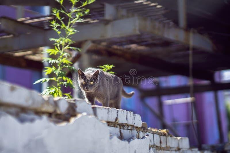 De kat met aandachtige ogen die langs de stedelijke industriële bakstenen muur gaan en kijkt zorgvuldig in onze richting Zonnige  stock afbeelding