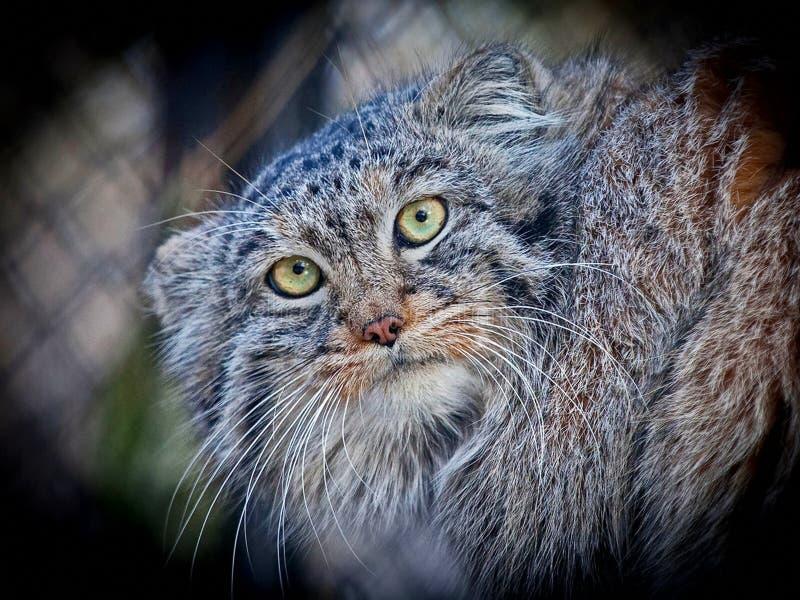 De kat Otocolobus werd van Manul of van Pallas manul genoemd na de Duitse naturalist Peter Simon Pallas royalty-vrije stock foto's