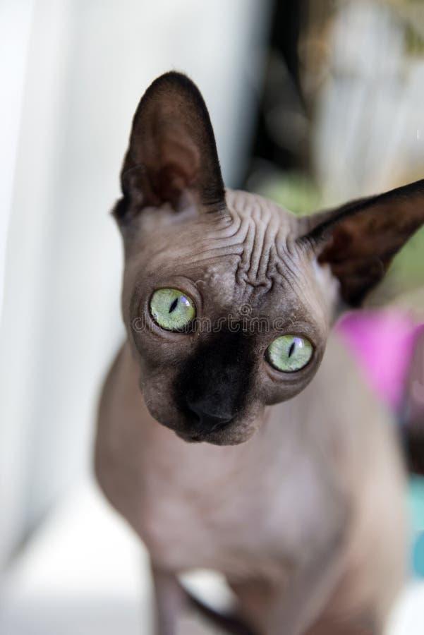 De kat, ras, Canadese Sphynx zit dichtbij het venster, kat met groen stock fotografie
