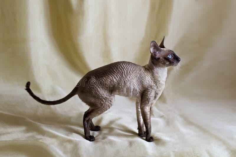 De kat Rex van Cornwall stock fotografie
